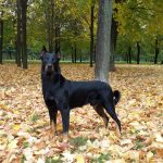 Animals___Dogs_Beauceron_in_beautiful_autumn_forest_051202_