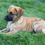 dog, animal, pet, domestic, dog, canine, puppy, gree, grass